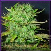 homegrown fantaseeds afghani medical cannabis seeds for sale